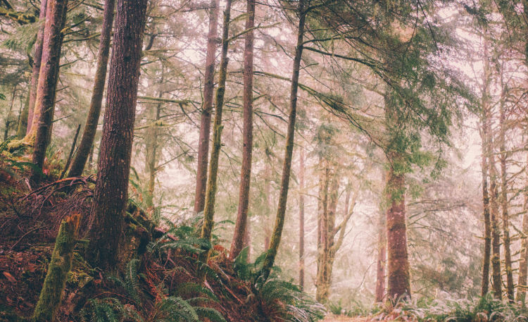 A photo of trees in a misty forest.